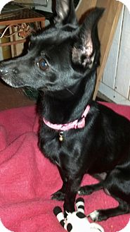 Chihuahua Mix Dog for adoption in North Brunswick, New Jersey - Harbor