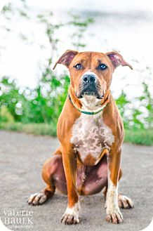 Boxer/Pit Bull Terrier Mix Dog for adoption in Columbus, Ohio - Scotty