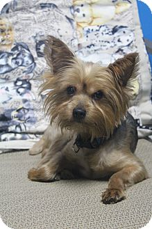 Yorkie, Yorkshire Terrier Dog for adoption in Greenville, Virginia - Skeet