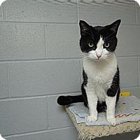 Domestic Shorthair Cat for adoption in House Springs, Missouri - Sir Oak