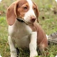 Adopt A Pet :: Copper - Staunton, VA