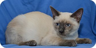 Siamese Kitten for adoption in Davis, California - Samantha
