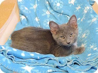 Domestic Shorthair Kitten for adoption in Brookings, South Dakota - Cobalt