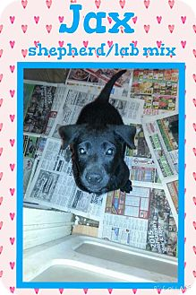 German Shepherd Dog/Labrador Retriever Mix Puppy for adoption in New Orleans, Louisiana - Jax