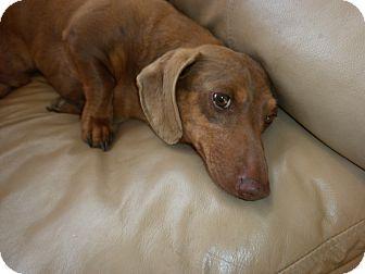 Dachshund Dog for adoption in Allentown, Pennsylvania - Luke (JW-POM)