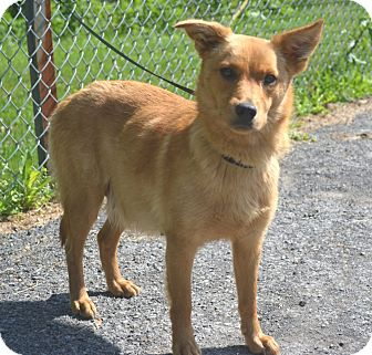 Spitz (Unknown Type, Small) Mix Dog for adoption in Morgantown, West Virginia - Lucille