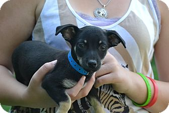 Terrier (Unknown Type, Small)/Chihuahua Mix Puppy for adoption in Broadway, New Jersey - Bingo