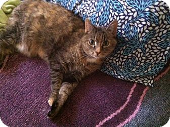 Domestic Shorthair Cat for adoption in Chalfont, Pennsylvania - Sweet P