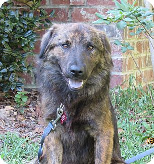 Shepherd (Unknown Type) Mix Dog for adoption in Ocean Springs, Mississippi - Beau
