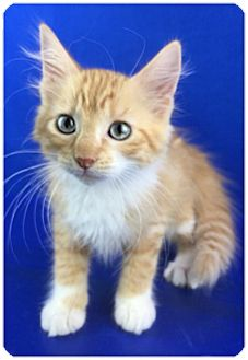 Domestic Mediumhair Kitten for adoption in Carencro, Louisiana - Marleigh