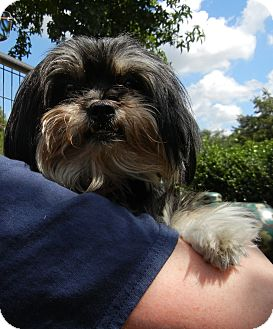 Shih Tzu Mix Dog for adoption in Houston, Texas - Chealce