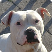 Adopt A Pet :: Pearly Girl! - Sacramento, CA