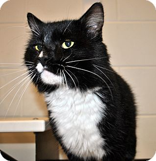Domestic Longhair Cat for adoption in Aiken, South Carolina - Salazar
