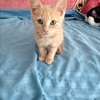 Domestic Shorthair Kitten for adoption in Sunny Isles Beach, Florida - Garbanzo aka Bonzo