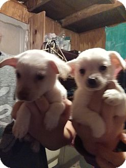 Chihuahua/Pomeranian Mix Puppy for adoption in springtown, Texas - Alvin