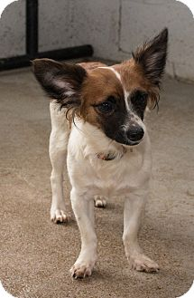 Papillon Mix Dog for adoption in Fairfax, Virginia - Butterfly