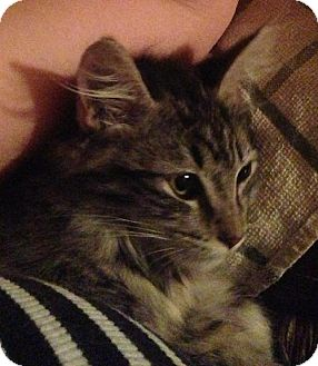 Domestic Longhair Kitten for adoption in Phoenix, Arizona - Isabella