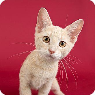 Domestic Shorthair Kitten for adoption in Wilmington, Delaware - April