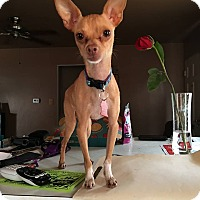 Chihuahua Mix Dog for adoption in San Diego, California - Leo