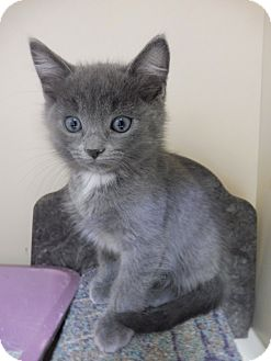 American Shorthair Kitten for adoption in Creston, British Columbia - Ian