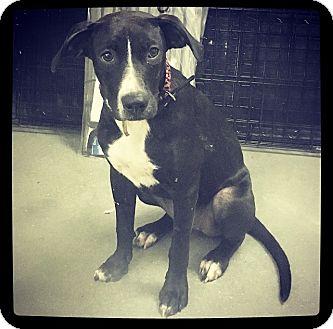 Labrador Retriever Mix Puppy for adoption in Grand Bay, Alabama - Keely