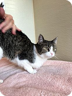 Domestic Shorthair Cat for adoption in Las Vegas, Nevada - Lilly