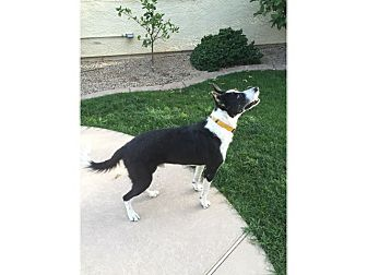 Border Collie Mix Dog for adoption in Tempe, Arizona - Willie