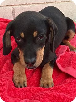Labrador Retriever/Beagle Mix Puppy for adoption in BONITA, California - Friday