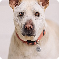 Adopt A Pet :: Lacy - Portland, OR