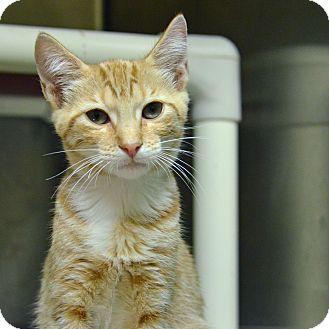 Domestic Shorthair Kitten for adoption in Brooksville, Florida - 10311310