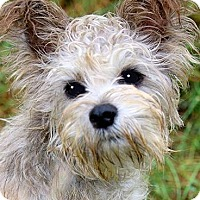 Adopt A Pet :: MISS JACKIE(OUR SCHNOODLE!! - Wakefield, RI
