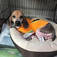 Adopt A Pet :: Hooper - Newport, NC