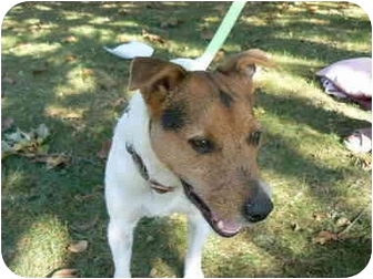 Jack Russell Terrier Dog for adoption in Rhinebeck, New York - Roxy