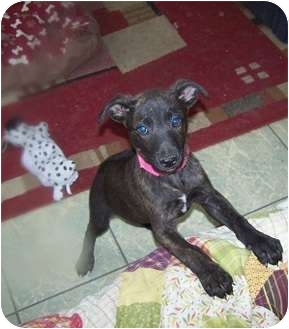 German Shepherd Dog/Boxer Mix Puppy for adoption in Antioch, Illinois - Girl 1