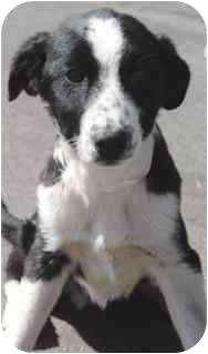 Border Collie/Retriever (Unknown Type) Mix Puppy for adoption in Los Angeles, California - Bohdi