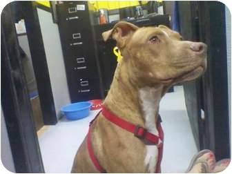 American Pit Bull Terrier Mix Dog for adoption in Phoenix, Arizona - Zoey