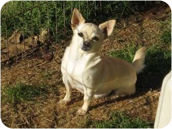 Chihuahua Dog for adoption in Greenville, Rhode Island - Angela