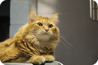 Domestic Longhair Cat for adoption in Forked River, New Jersey - Alex