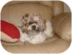 Shih Tzu Dog for adoption in Wauseon, Ohio - Patches..ADOPTED