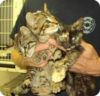 Domestic Mediumhair Kitten for adoption in Mt. Vernon, Illinois - 2 sisters & 1 bro