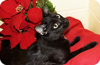 Domestic Shorthair Cat for adoption in Berlin, Connecticut - Jasper