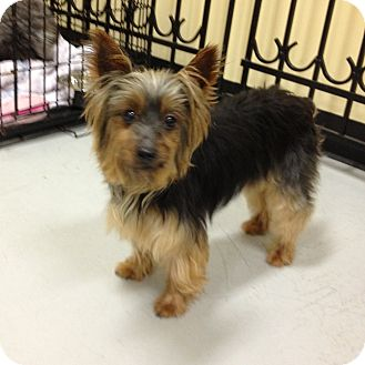 Yorkie, Yorkshire Terrier Dog for adoption in Kansas city, Missouri - Tessa