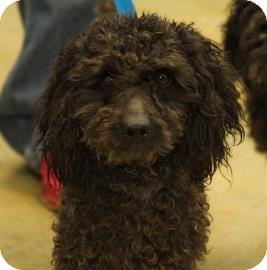 Poodle (Miniature) Mix Dog for adoption in Philadelphia, Pennsylvania - Neil