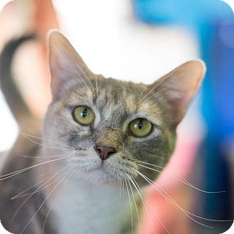 Domestic Shorthair Cat for adoption in Los Angeles, California - Sundance