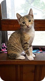 Domestic Shorthair Kitten for adoption in Irwin, Pennsylvania - Cindy Lou