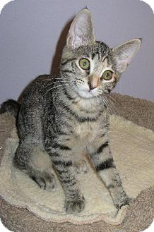 Domestic Shorthair Kitten for adoption in HILLSBORO, Oregon - GYPSY