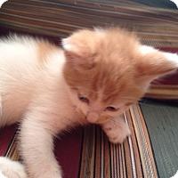 Adopt A Pet :: Butterscotch - Cranford/Rartian, NJ
