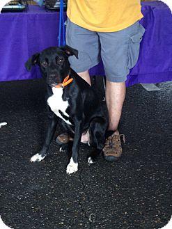 Labrador Retriever/Boxer Mix Dog for adoption in Baton Rouge, Louisiana - Butster Jr