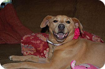 Labrador Retriever Mix Dog for adoption in CHICAGO, Illinois - MARLEY