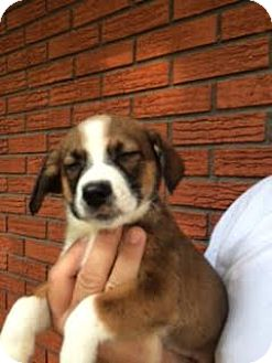 Hound (Unknown Type) Mix Puppy for adoption in ST LOUIS, Missouri - Gella